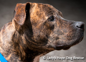 Ladys Hope Rescue: Bailey